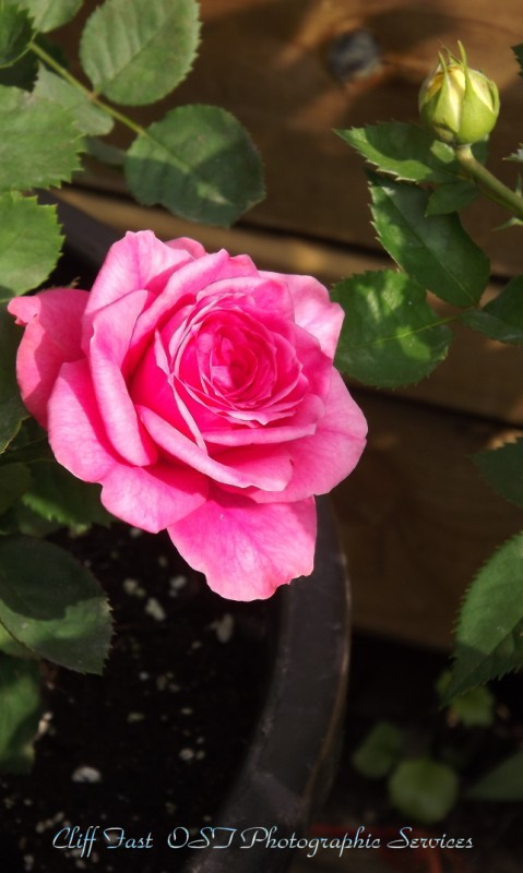 Roses-8