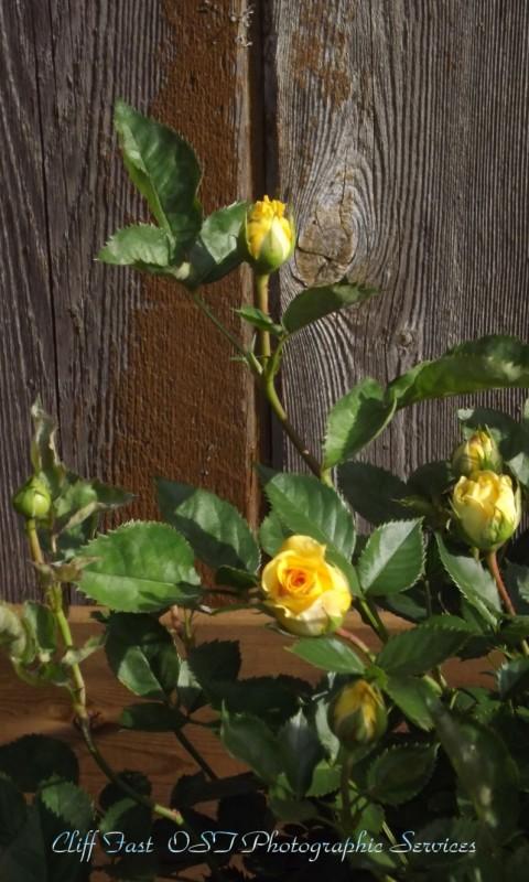 Yellow Rose-1