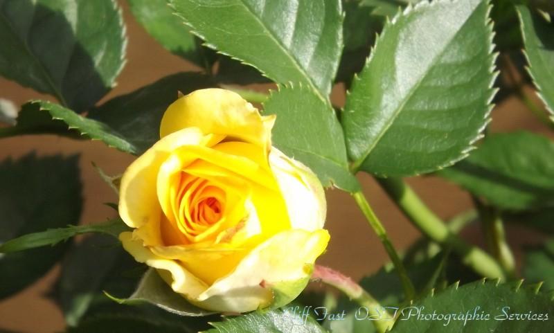 Yellow Rose-2