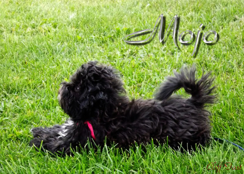 A black dog on green grass.