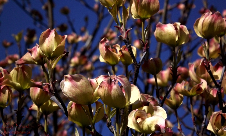 A Dogwood Tree coming into bloom