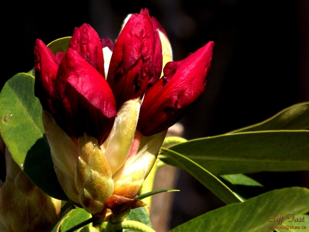 Beautiful red flower buds