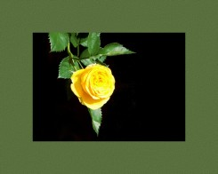 Yellow rose with a black background