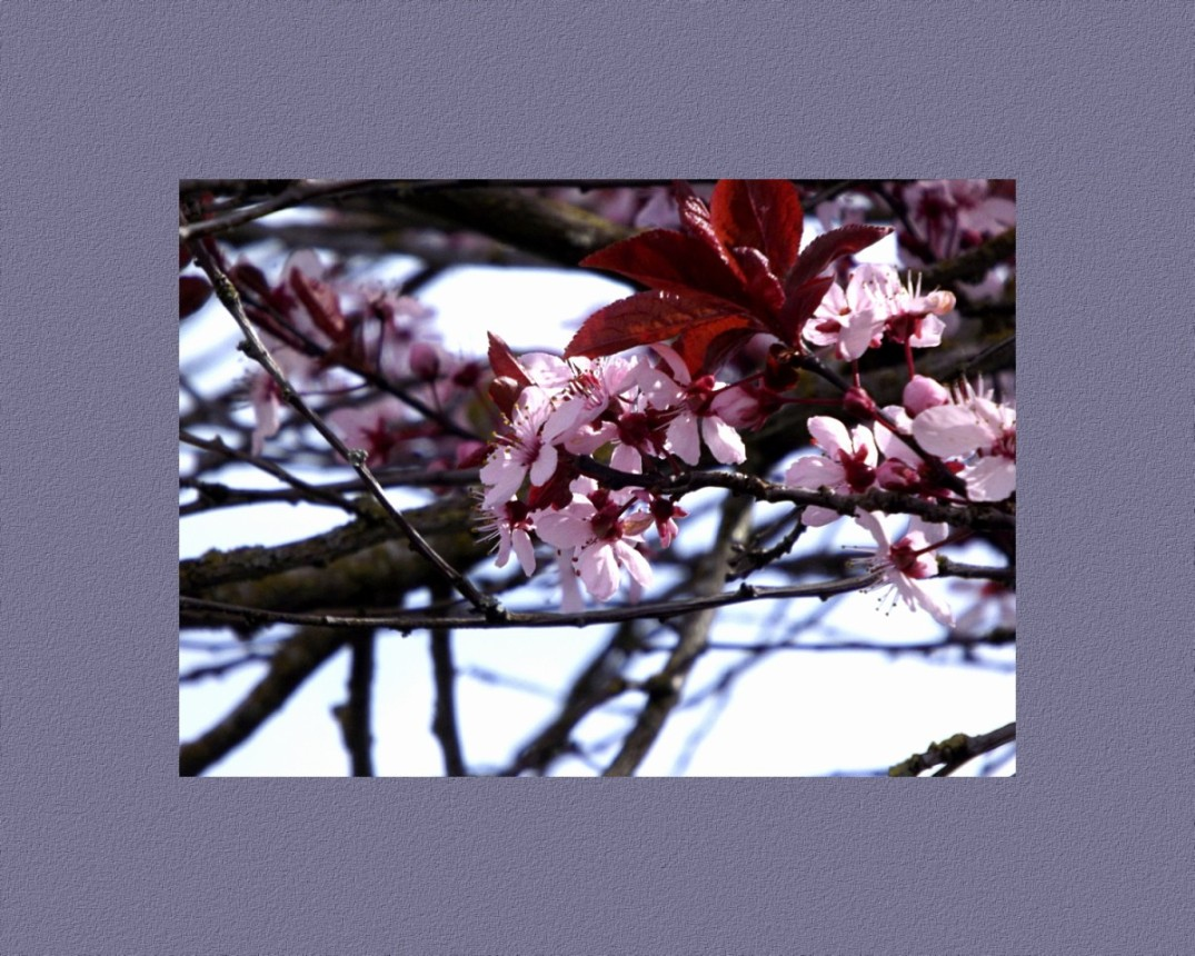 Japanese Plum Tree in Bloom with a complimetry colored boarder
