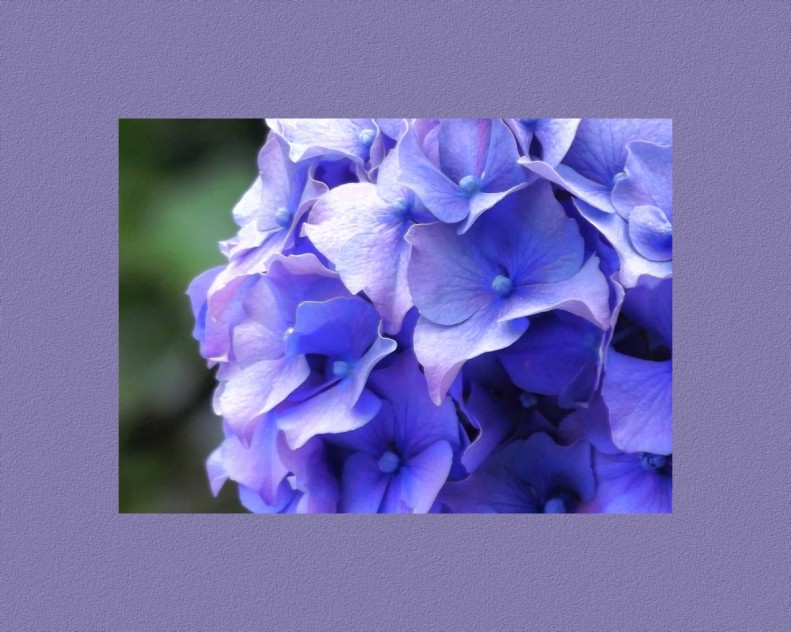 A Blue Rhododendron with a complimentary colored boarder.