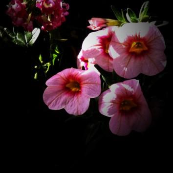 Hardy Petunia-2b