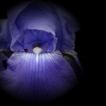 Iris-3b