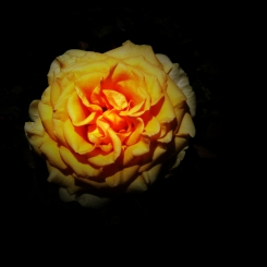 A single yellow rose in full bloom