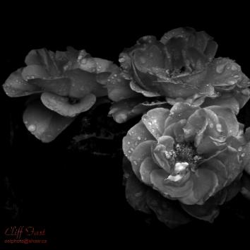 Wild Rose in B&W