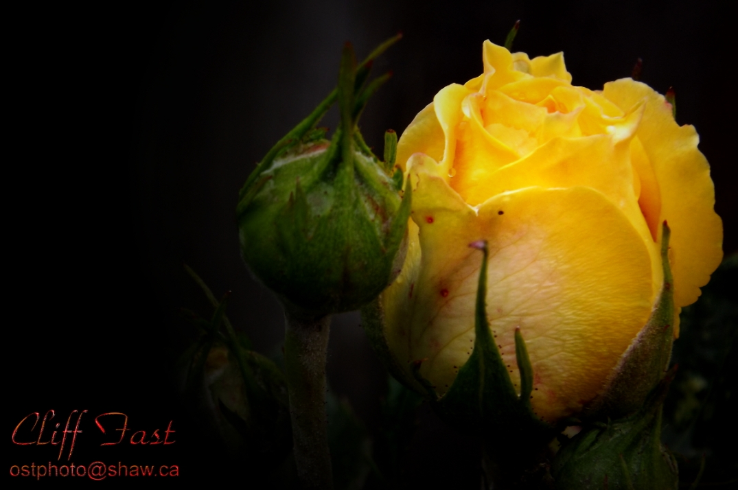 A yellow rose bud.