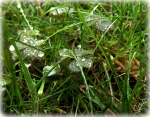 Color photo of dew drops. Clover and grass.