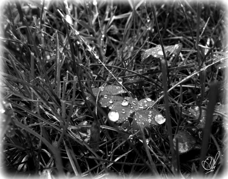 Dew drops sitting on a clover leaf. Black & White