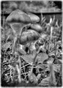 Mushrooms-1 B&W