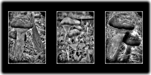 Three 5x7 photos in one long frame. All black and white enhanced shots of wild mushrooms.