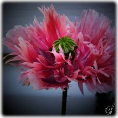 volunteer poppies
