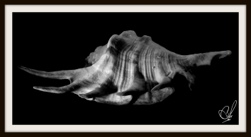 A Black & White photograph of a seashell using two different light sources with a black background .