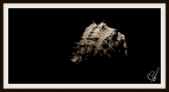 A photograph of a seashell using two different light sources in the Sepia tone with a black background .
